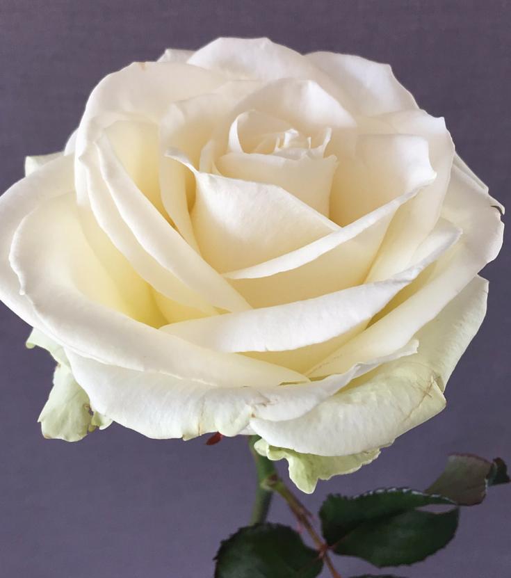 rose-ceremonie-laique